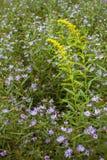 Giacimento di fiori viola e giallo Fotografie Stock