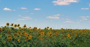 Giacimento di fioritura dei girasoli contro il cielo di estate video d archivio