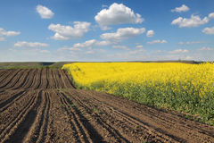Giacimento di fioritura del canola in primavera Fotografie Stock Libere da Diritti