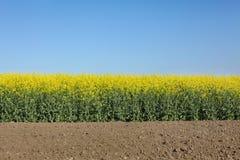 Giacimento di fioritura del canola in primavera Immagine Stock Libera da Diritti