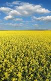 Giacimento di fioritura del canola in primavera Fotografia Stock