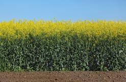Giacimento di fioritura del canola in primavera Fotografie Stock
