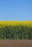 Giacimento di fioritura del canola in primavera Immagini Stock Libere da Diritti