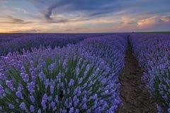 Giacimento di fioritura della lavanda al crepuscolo Fotografia Stock Libera da Diritti