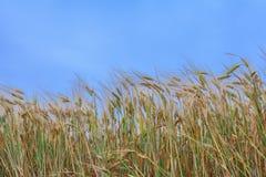 Giacimento di grano fotografia stock libera da diritti