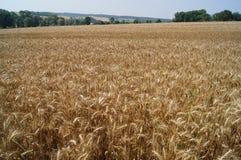 Giacimento di grano Fotografie Stock