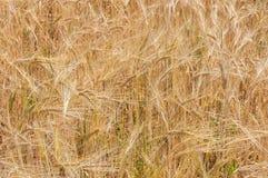 Giacimento di grano (3) Immagine Stock Libera da Diritti