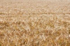 Giacimento di grano (1) Fotografia Stock Libera da Diritti