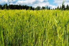 Giacimento di grano accanto ad una fattoria finlandese Immagine Stock Libera da Diritti