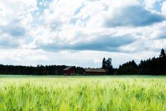 Giacimento di grano accanto ad una fattoria finlandese Fotografia Stock
