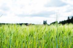Giacimento di grano accanto ad una fattoria finlandese, primo piano sulle piante Fotografia Stock