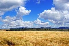 Giacimento di grano accanto alle montagne e un cielo blu con il fondo delle nuvole Immagine Stock Libera da Diritti