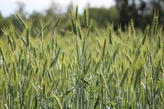 Giacimento di grano acerbo nel villaggio Fotografie Stock Libere da Diritti