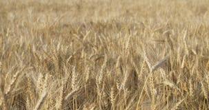 Giacimento di grano ad agosto prima del movimento lento del raccolto Fotografia Stock