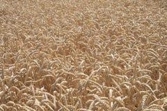 Giacimento di grano, grano, agricoltura, raccolto del grano immagini stock libere da diritti