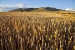 Giacimento di grano al crepuscolo Fotografia Stock