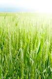 Giacimento di grano al dettaglio del sole Fotografia Stock