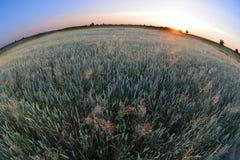 Giacimento di grano al tiro di tramonto con un fish-eye Fotografia Stock