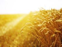 Giacimento di grano al tramonto Fotografia Stock