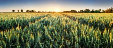 Giacimento di grano al tramonto, panorama fotografia stock libera da diritti