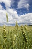 Giacimento di grano in anticipo Fotografia Stock Libera da Diritti