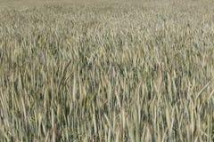 Giacimento di grano che coltiva paesaggio fotografie stock