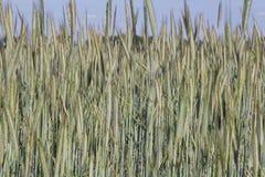 Giacimento di grano che coltiva paesaggio immagini stock
