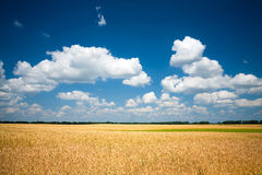 Giacimento di grano con cielo blu Fotografia Stock Libera da Diritti