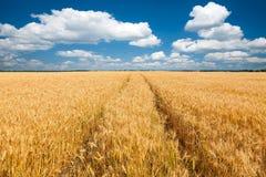 Giacimento di grano con cielo blu Fotografia Stock