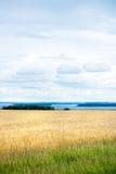 Giacimento di grano con cielo blu e le nuvole bianche Fotografia Stock