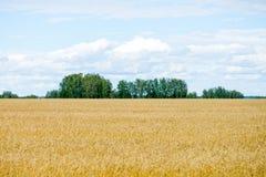 Giacimento di grano con cielo blu e le nuvole bianche Immagine Stock