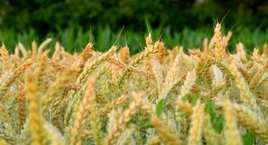 Giacimento di grano con i colori dorati a giugno fotografia stock