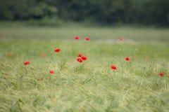 Giacimento di grano con i papaveri rossi Immagine Stock