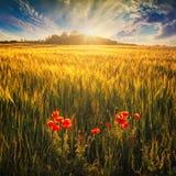 Giacimento di grano con i poppys rossi fotografia stock