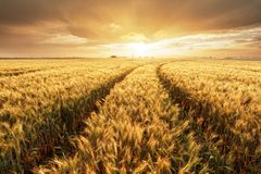 Giacimento di grano con il paesaggio di tramonto dell'oro, industria di agricoltura immagini stock