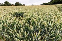 Giacimento di grano con il raccolto di giovane grano Fotografia Stock