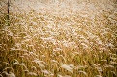 Giacimento di grano con la conclusione ben matura del grano di estate immagine stock libera da diritti