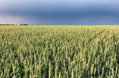 Giacimento di grano con la tempesta - agricoltura Fotografia Stock Libera da Diritti