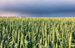 Giacimento di grano con la tempesta - agricoltura Fotografia Stock