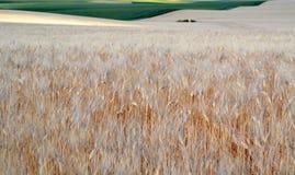 Giacimento di grano con le orecchie del fiore del grano Fotografie Stock Libere da Diritti