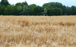 Giacimento di grano con le orecchie mature Fotografia Stock Libera da Diritti