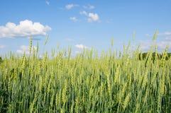 Giacimento di grano con le orecchie sole su un fondo di cielo blu con Cl fotografia stock