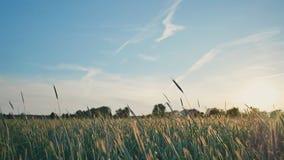 Giacimento di grano con un cielo blu su un fondo Le spighette verdi acerbe oscillano nel vento al sole Tramonto Video dentro stock footage