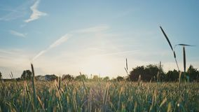 Giacimento di grano con un cielo blu su un fondo Le spighette verdi acerbe oscillano nel vento al sole Tramonto Video dentro archivi video