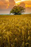 Giacimento di grano contro il cielo di tramonto Immagini Stock Libere da Diritti
