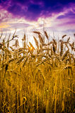 Giacimento di grano contro il cielo drammatico Fotografie Stock