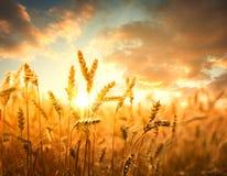 Giacimento di grano contro il tramonto dorato immagine stock libera da diritti