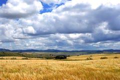 Giacimento di grano davanti alle montagne ed al cielo con il fondo delle nuvole Fotografie Stock Libere da Diritti