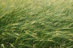 Giacimento di grano del terreno coltivabile Fotografie Stock