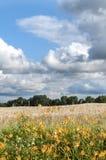Giacimento di grano dell'azienda agricola del Missouri U.S.A. Fotografia Stock Libera da Diritti